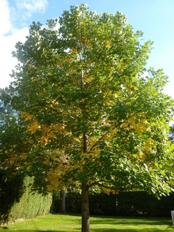 Tulip tree malvern tree project this fast growing wide rooted tree grows crisp light green leaves that turn a soft yellow in the fall season a young tree will have an even mightylinksfo
